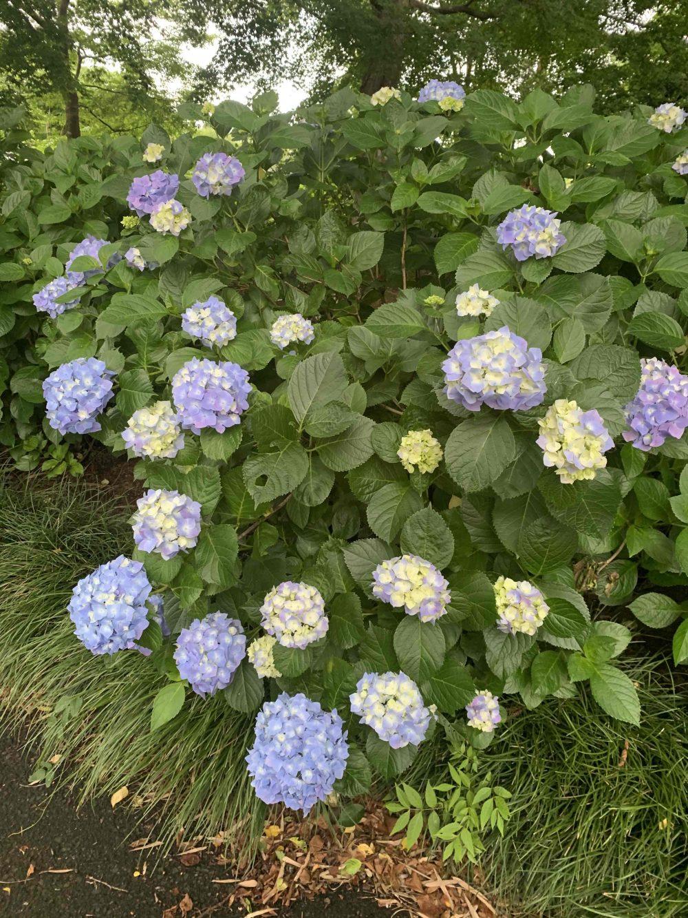 光徳寺の紫陽花4